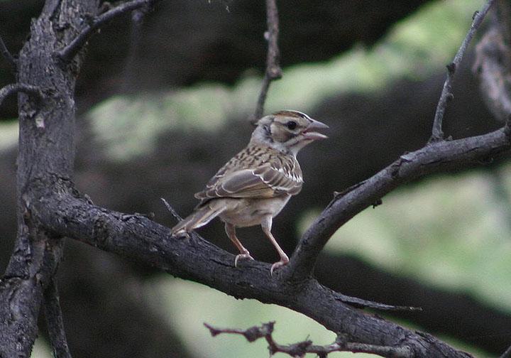 Lark Sparrow; juvenile