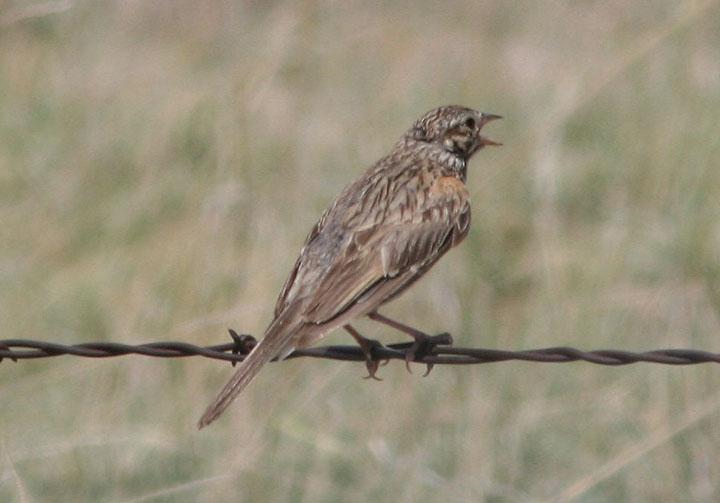 McCowns Longspur; breeding female