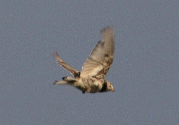 McCowns Longspur; breeding male