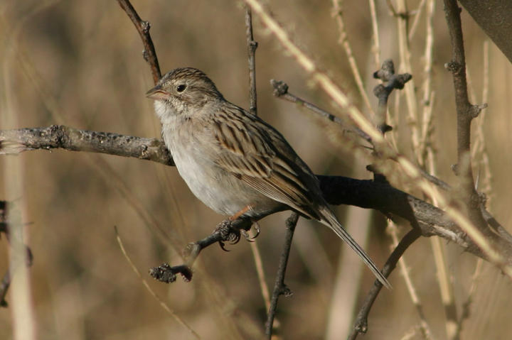 Brewers Sparrow