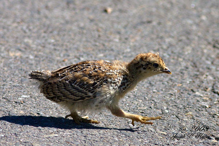 Sooty Grouse chick