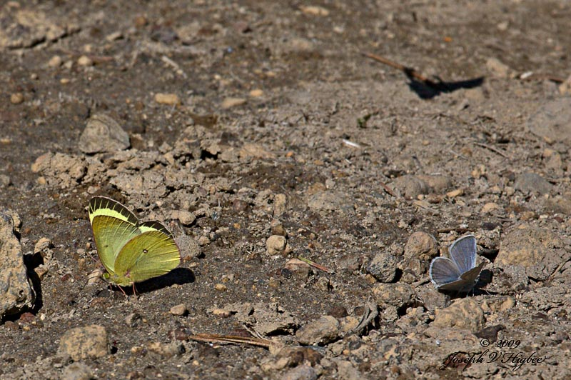 Pink-edged Sulpher and Western Tailed Blue