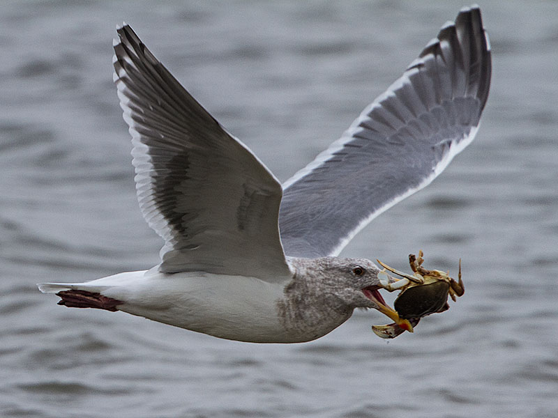 Gull with Crab