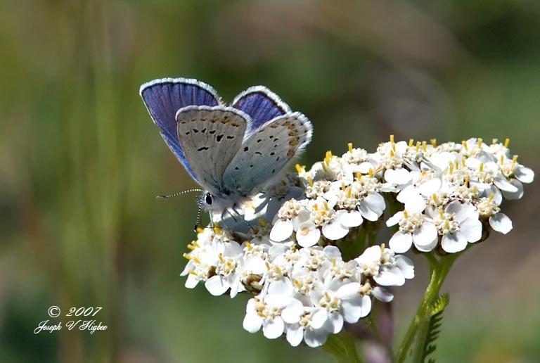 Annas Blue