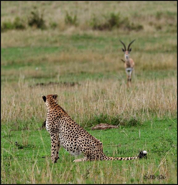 Cheetah and Thompson gazelle