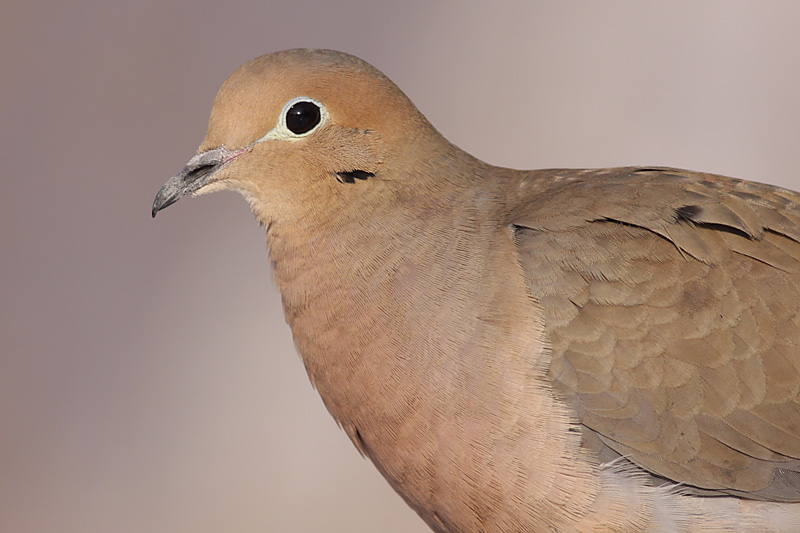mourning dove 49