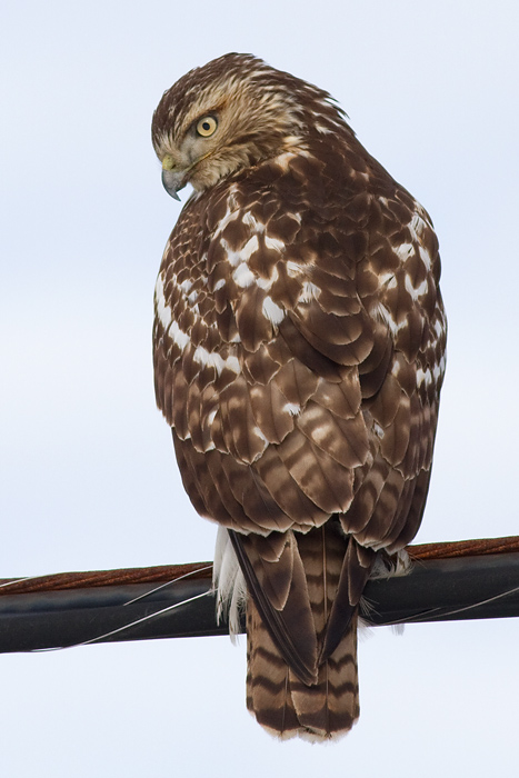 red-tailed hawk 304