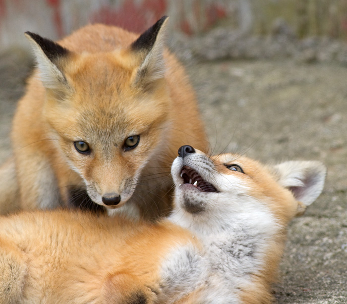 fox cub 44