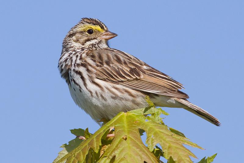 savannah sparrow 55
