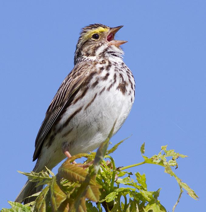 savannah sparrow 56
