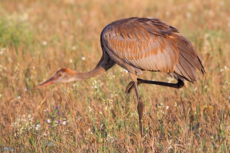 sandhill crane colt 110