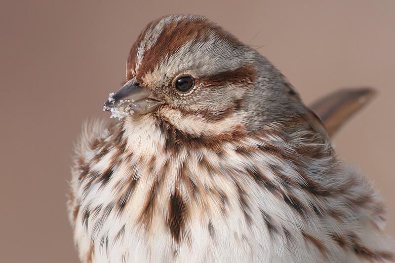 song sparrow 37