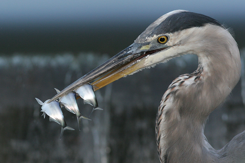 great blue heron 232