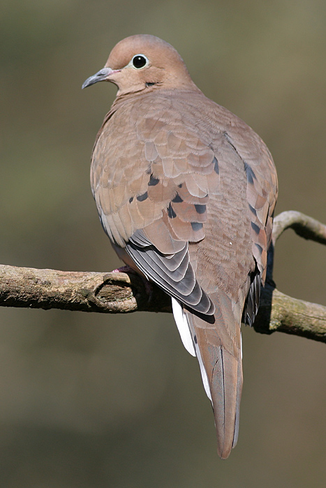 mourning dove 24