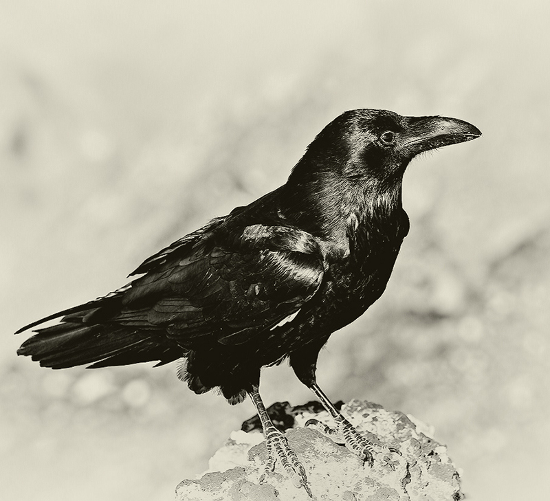 Raven from Death Valley