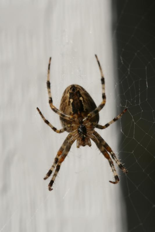 Spider<BR>September 26, 2007
