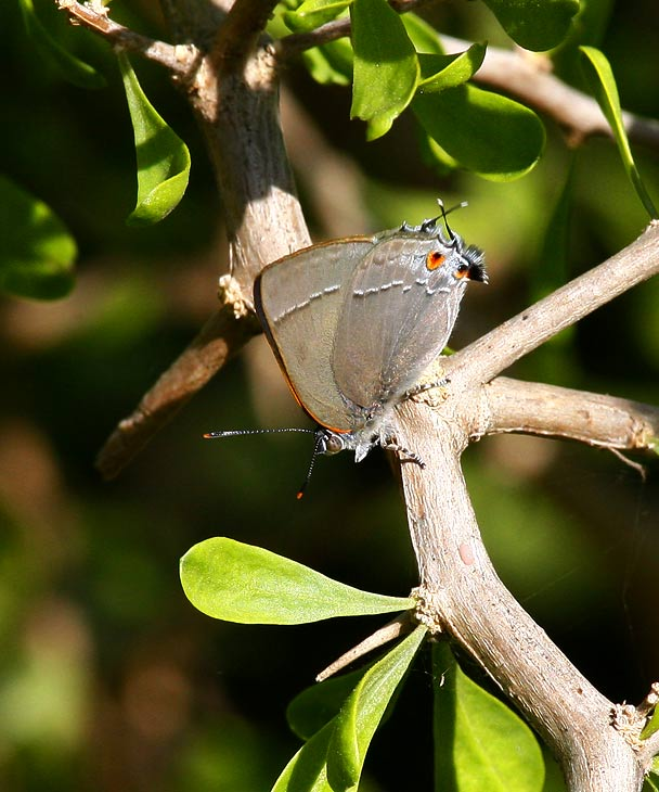 Marius Hairstreak (Rekoa marius)