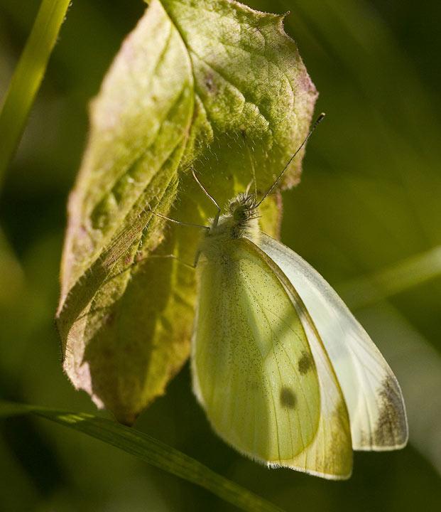 Rovfjäril (Pieris rapae), hona