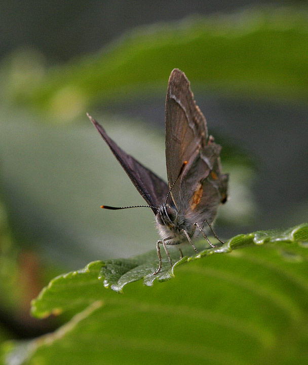 Eksnabbvinge (Favonius quercus)