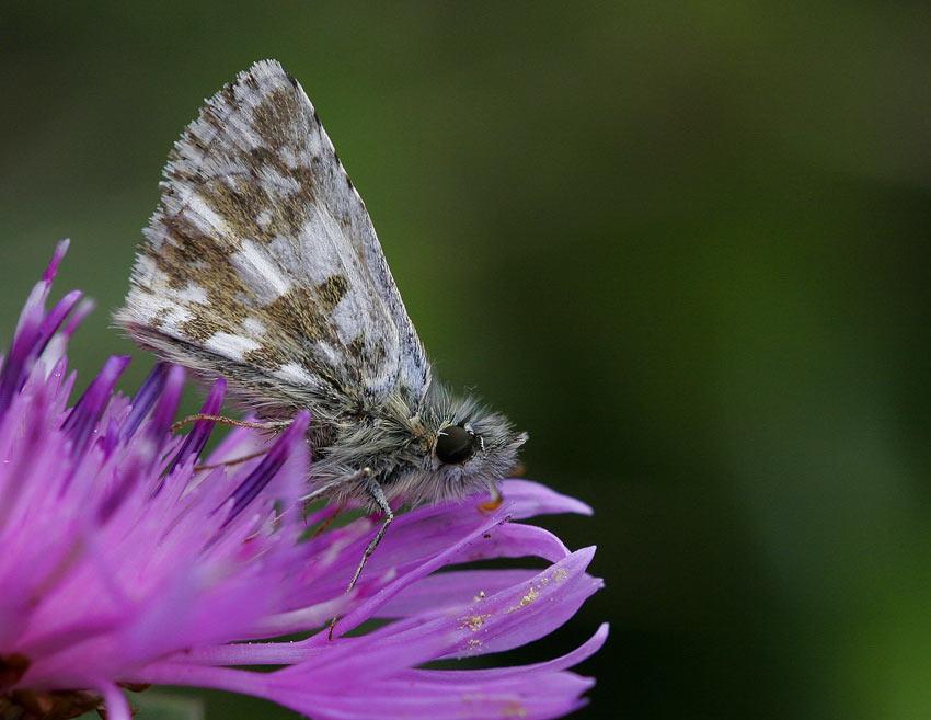 Backvisslare (Pyrgus armoricanus)