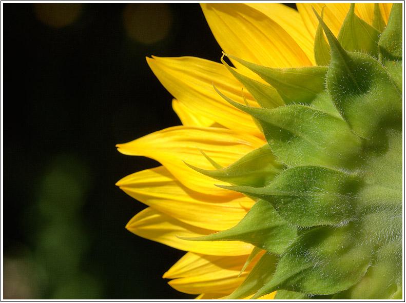 Sunflower/Tournesol.jpg