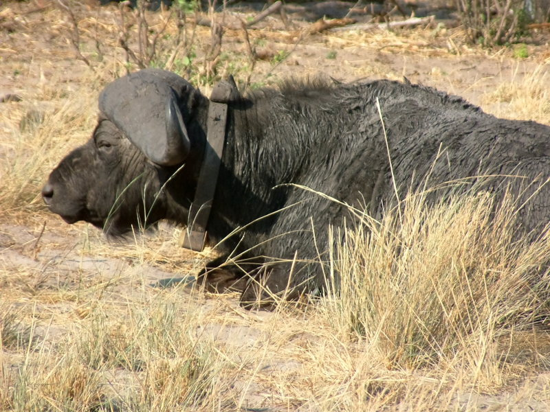 Cape buffalo with tracking collar