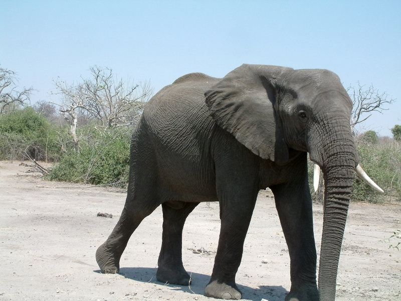 An elephant approaching our vehicle
