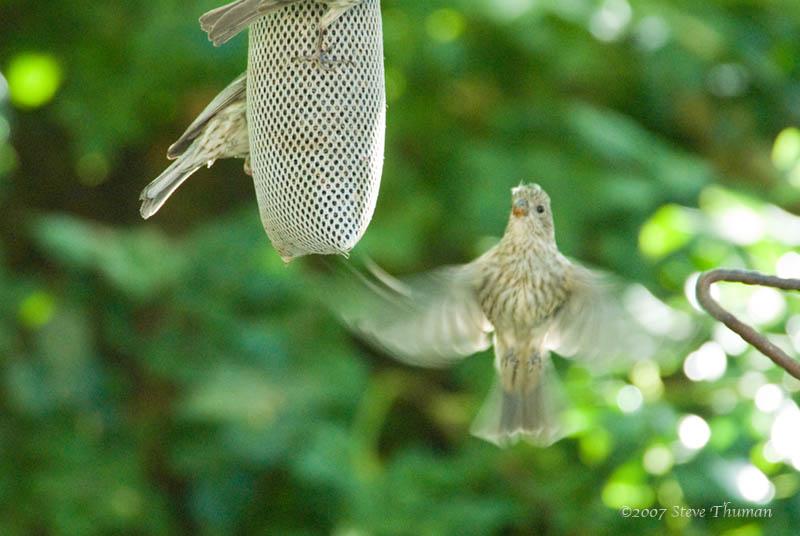 Sparrows Flight