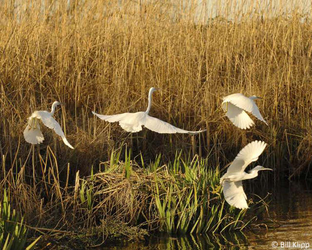 Great Egret with Snowy Egrets 13