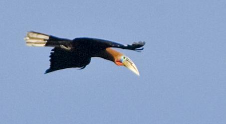 Rufous-necked Hornbill (male)