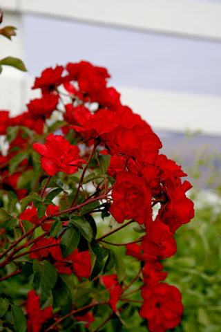 Red Roses; White Picket Fence