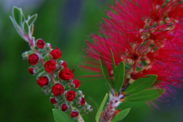 Bottlebrush Baby and Mama