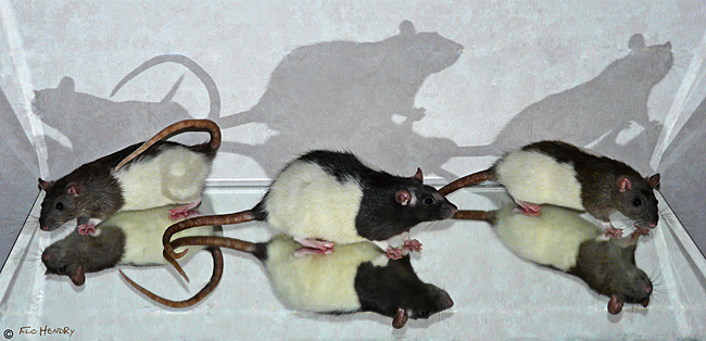 Reflections of the Girlie Rats