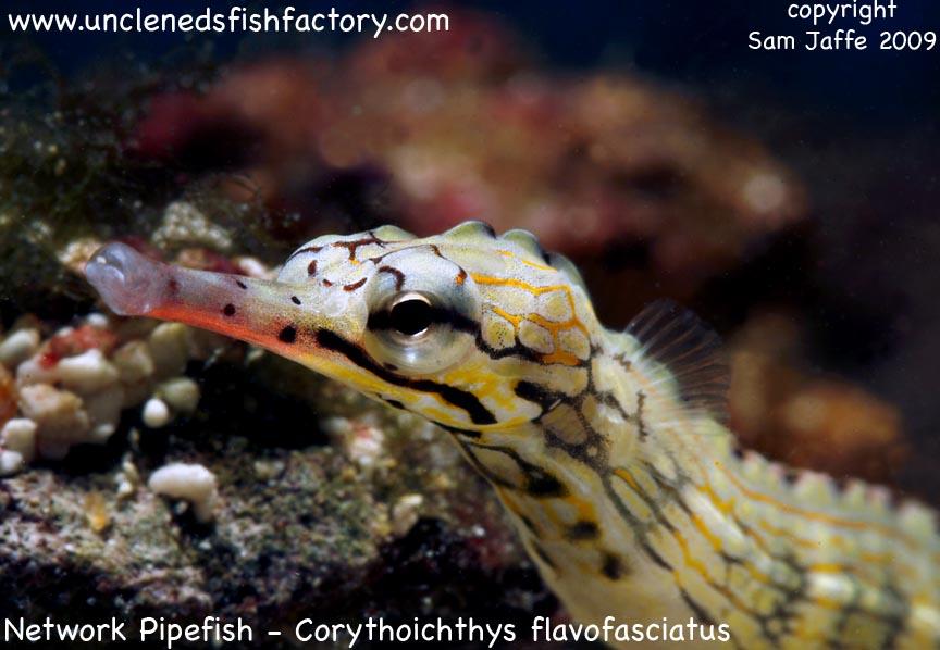 Network Pipefish