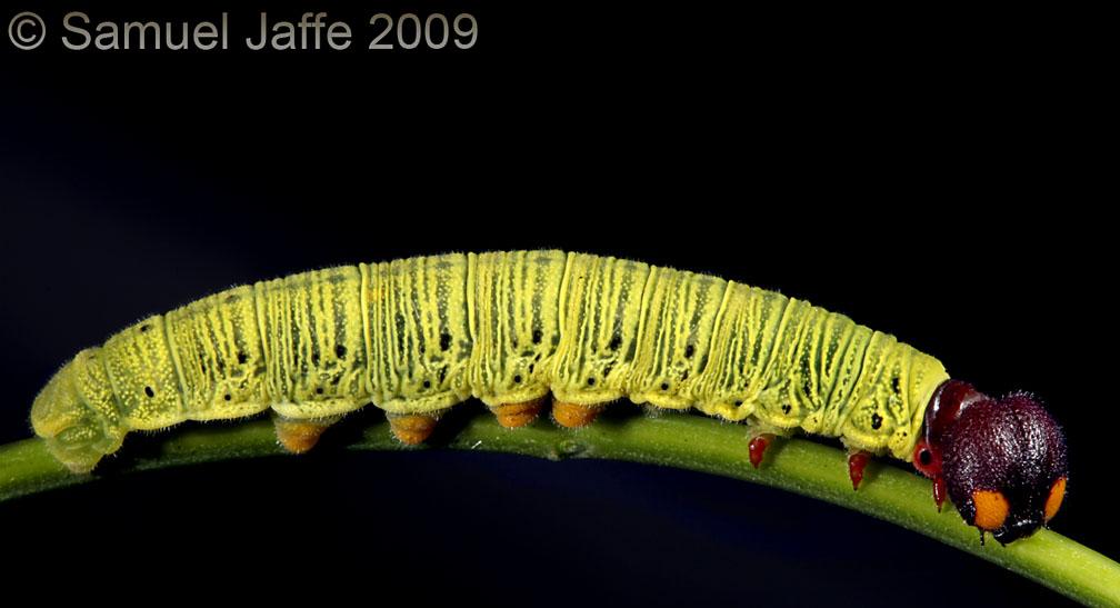 Epargyreus clarus - Silver-spotted Skipper