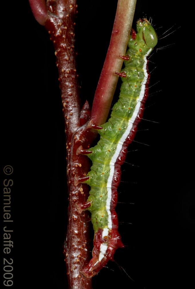 Tufted Bird-dropping Moth - Cerma cerintha