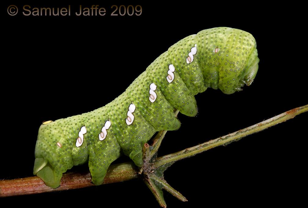 Eumorpha achemon - Green Phase Achemon Sphinx