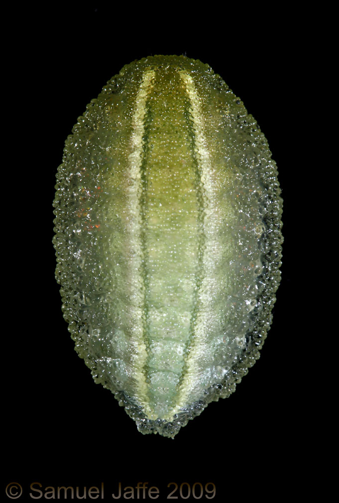 Apoda biguttata - Shagreened Slug