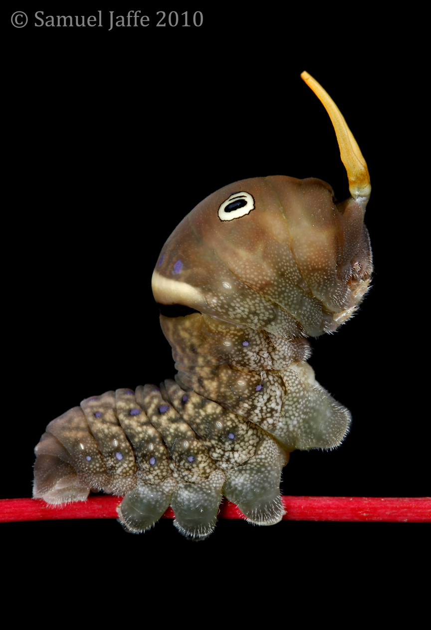 Papilio glaucus - Tiger Swallowtail