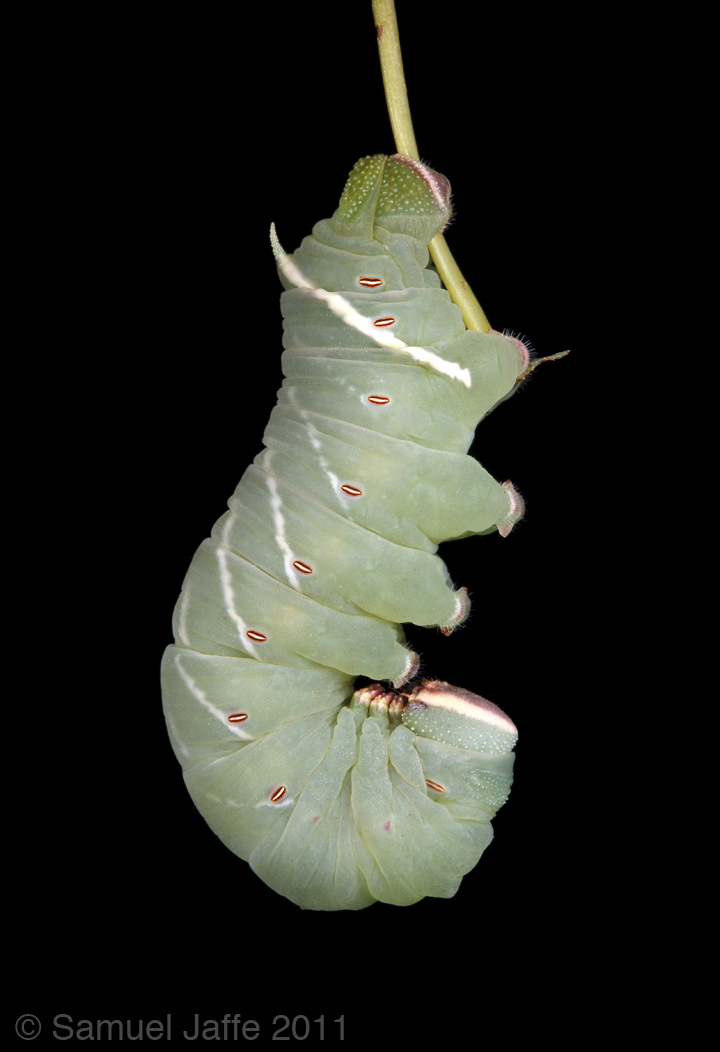 Pachysphinx modesta - Big Poplar Sphinx