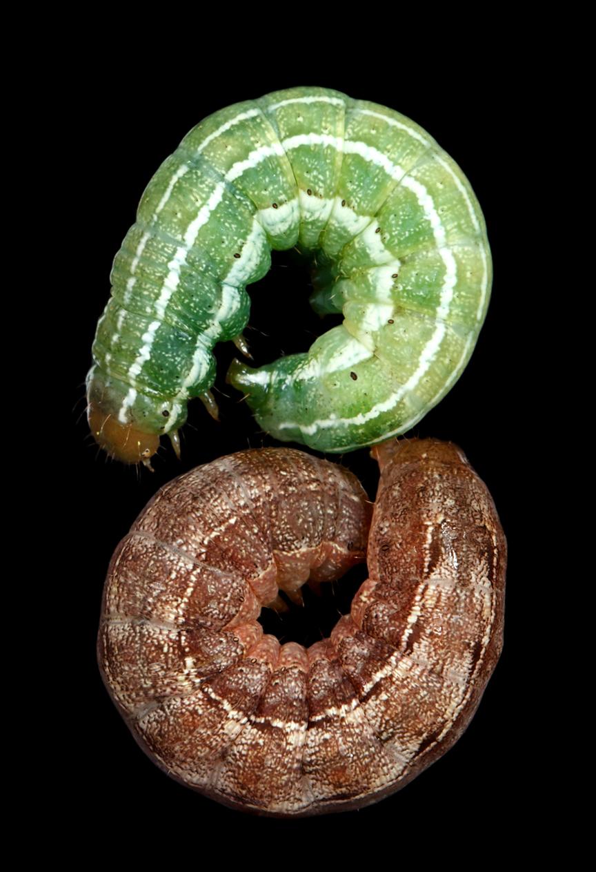 White Pine Darts - Xestia badicollis