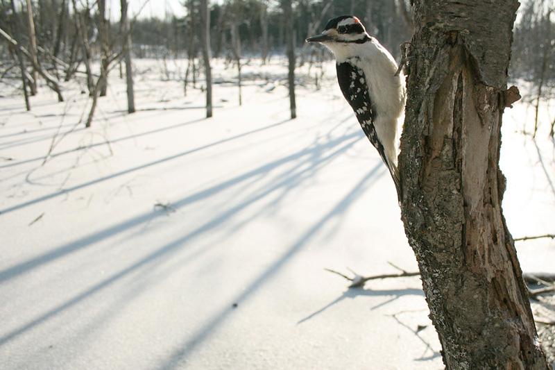 Hairy Woodpecker (<i>Picoides villosus</i>)
