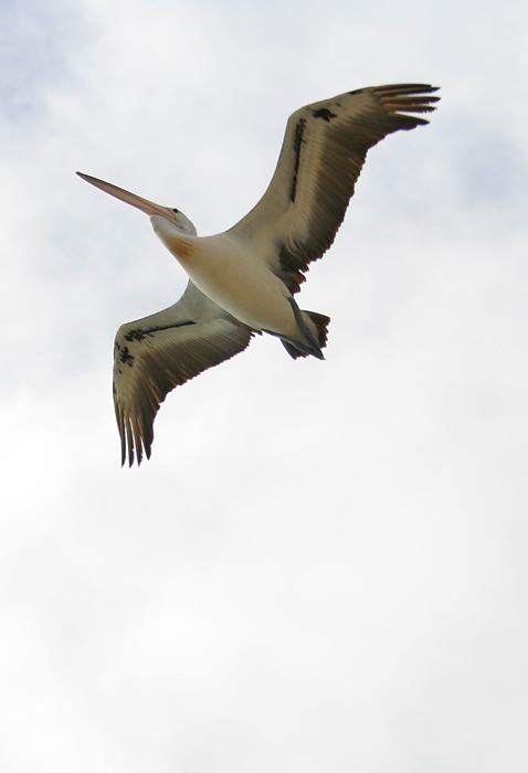 Pelican *