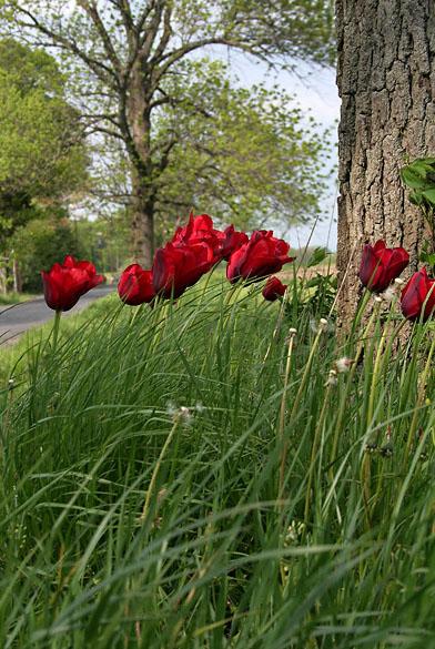 Tulips   *