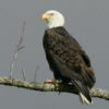 Bald Eagles of Arkansas