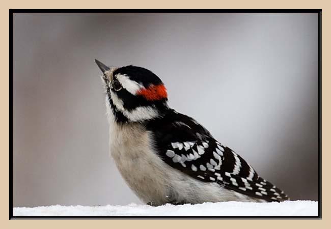 Downey Woodpecker (Male)