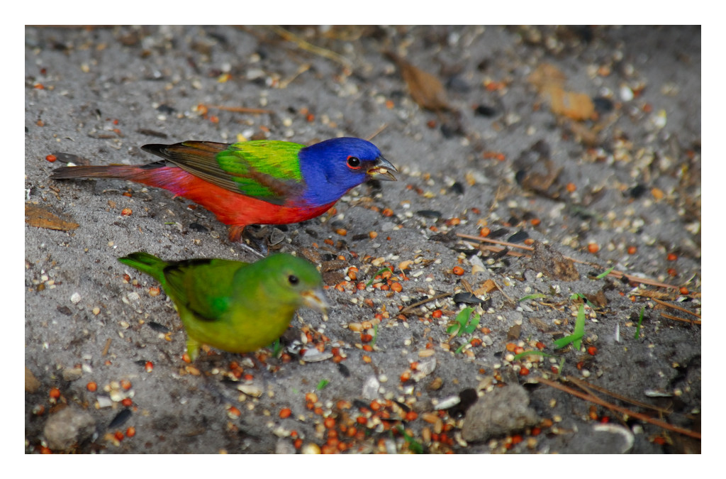 Painted Bunting male and female - Birds of Florida
