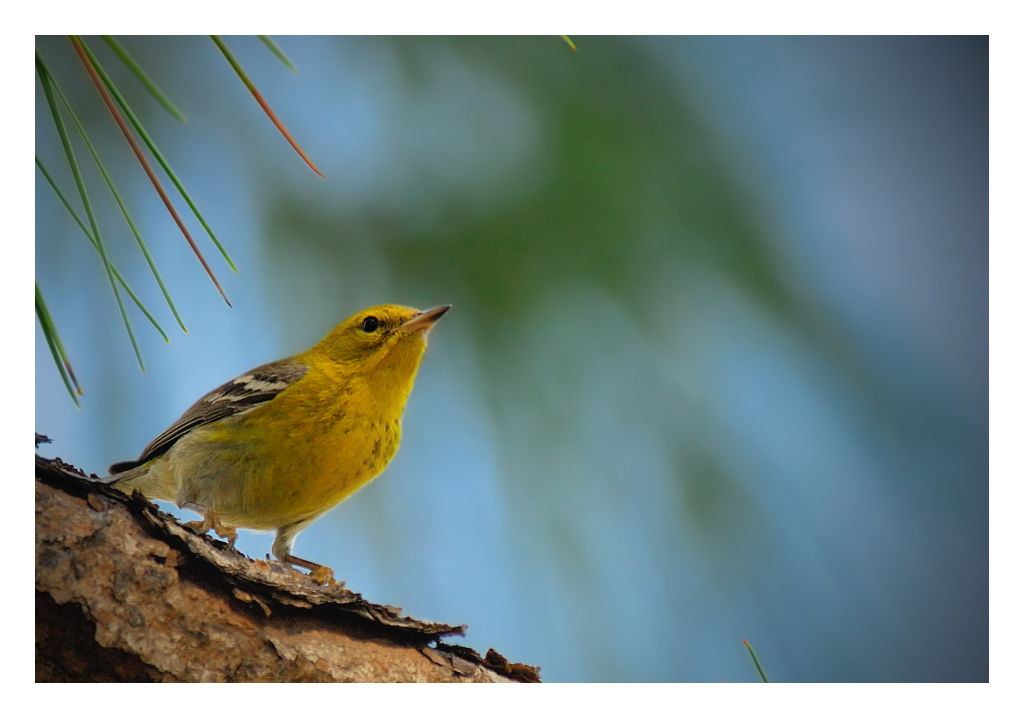 Pine Warbler - Birds of Florida