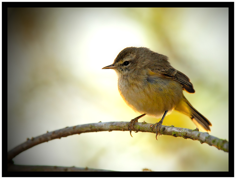 Palm Warbler - Birds of Florida