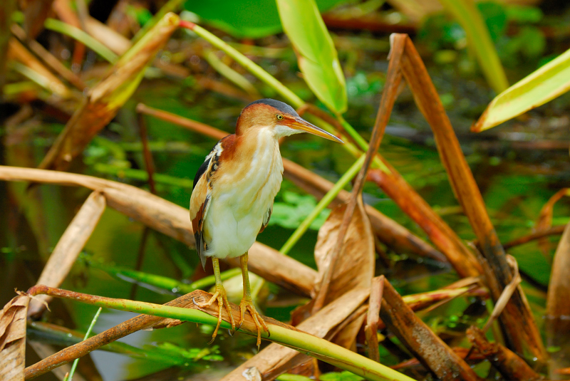 Least Bittern - Birds of Florida